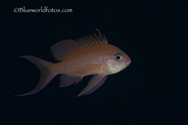 Tres colas (Anthias anthias)