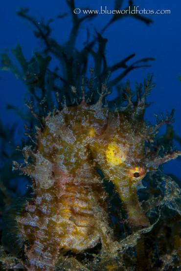 Hippocampus de la marina de Arrecife