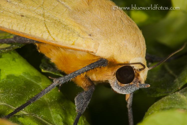 Ophiusa tirhaca la mariposa del Guayabero