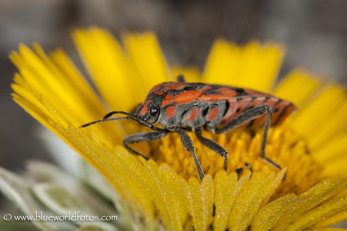 Chinche de campo (Spilostethus pandurus)