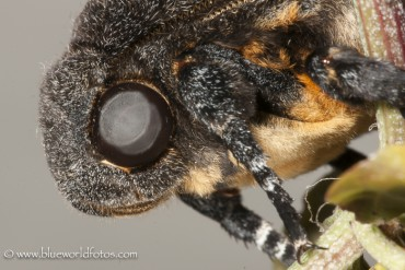 Acherontia atropos (esfinge de la calavera)
