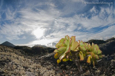 Bejeque de malpaís (Aeonium lancerottense)