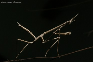 Hypsicorypha gracilis, la mantis invisible