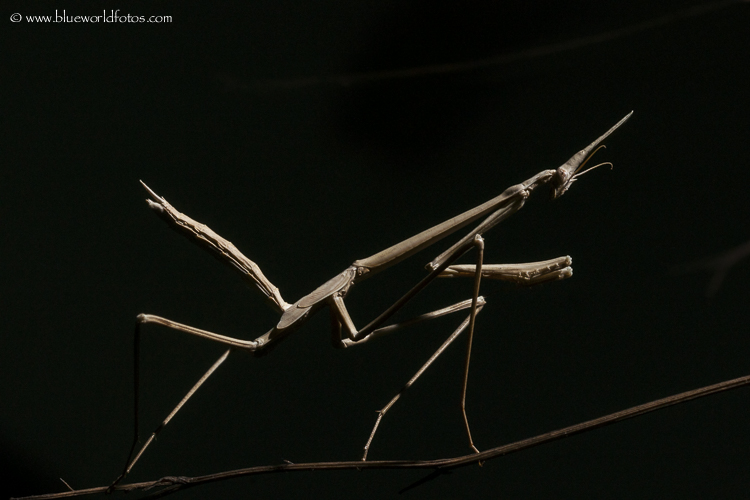 Hypsicorypha gracilis, la mantis invisible