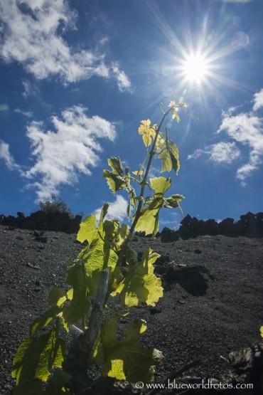 Malvasía volcánica