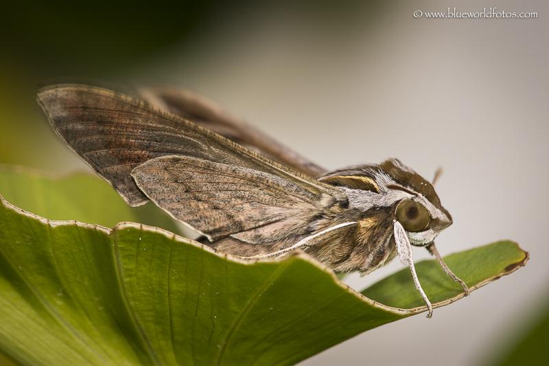 Hyles lineata ( Sphingidae)