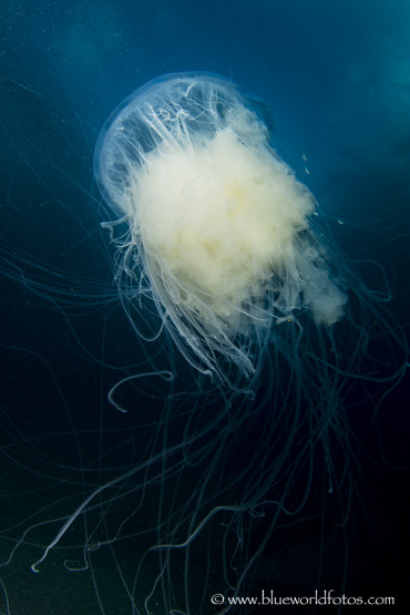 Medusas oceánicas