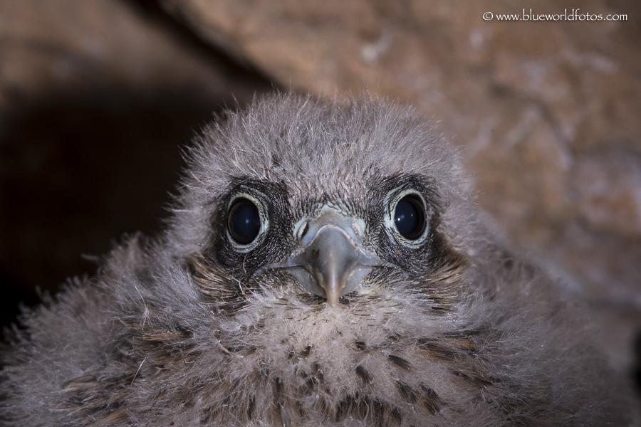 Cernícalo común (Falco tinnunculus dacotiae)