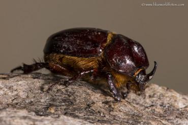Escarabajos rinocerontes